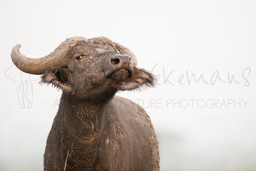 Buffalo in Queen Elizabeth National Park during Uganda- Gorillas, chimpanzees and more photo safari