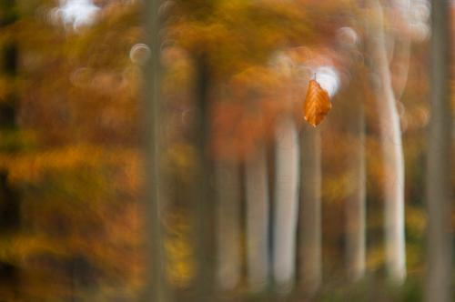 Autumn leaf falling in beech forest
