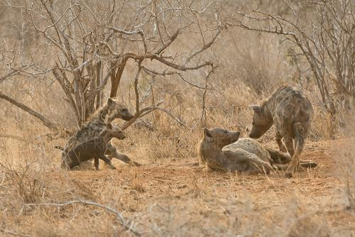 Spotted hyena clan with young and adult hyenas standing near den in Tsavo East