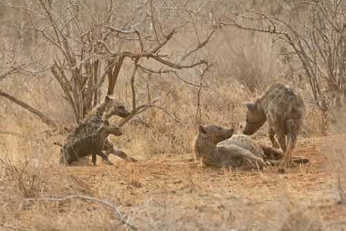 Clan van gevlekte hyena's met jonge en volwassen hyena's bij hun nest in Tsavo East