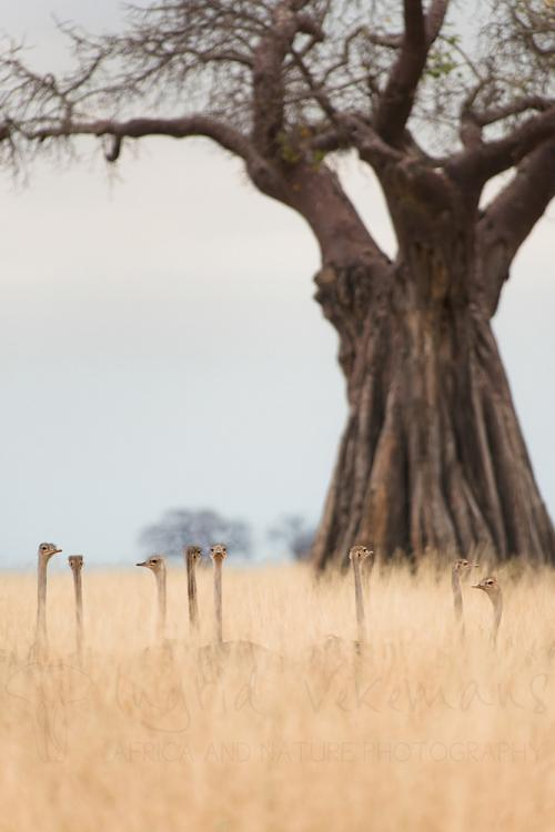 Ostrich chick family lying in long grass under baobab tree in Tarangire in Tanzania
