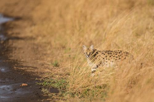 Serval in grass in Meru National Park