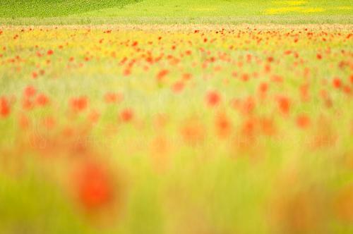 Out of focus veld van klaprozen en tarwe met boerenvelden in de achtergrond