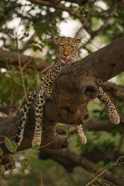 Luipaard in boom in South Luangwa tijdens Exclusief South Luangwa fotosafari