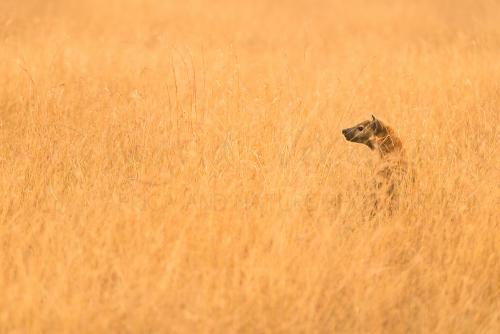 Gevlekte hyena staat in lang gouden grass bij zonsondergang in Serengeti