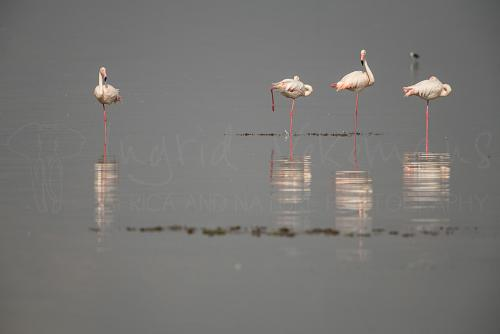 Flamingos in Amboseli during 'Maneaters and Red Elephants' photo safari