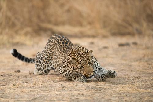 Luipaard speelt met vlieg in South Luangwa tijdens 'Exclusief South Luangwa' fotosafari