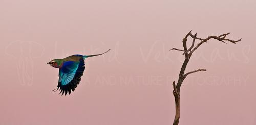Lilac-breasted Roller (Coracias caudatus) in flight, taking off from dead tree at sunrise in Tsavo in Kenya