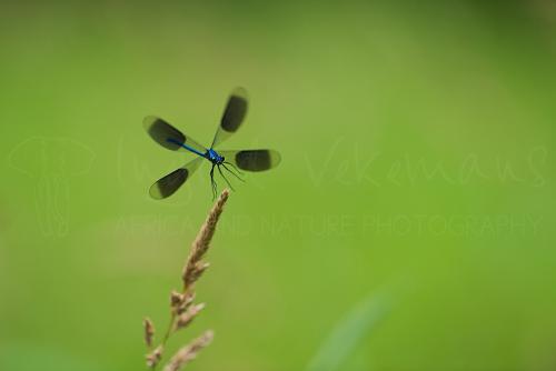 Banded demoiselle male in flight