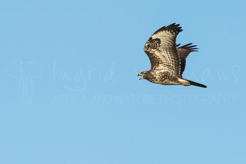 Common buzzard calling in flight