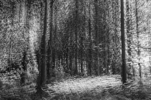Forest scene in black and white where there is a stepswise motion