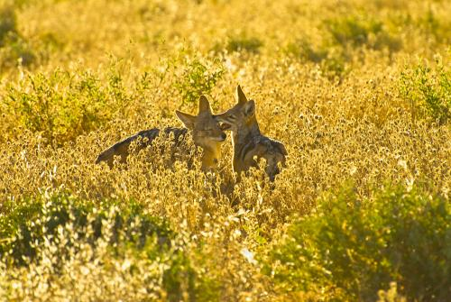 Black-backed jackal couple playing in grass at sunrise in Etosha