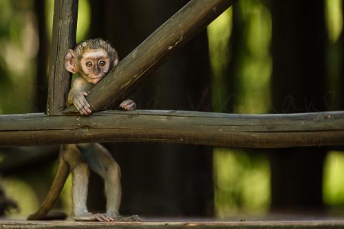 Curious baby vervet monkey watching photographer from tent in Selous during Southern Tanzania Explorer photo safari