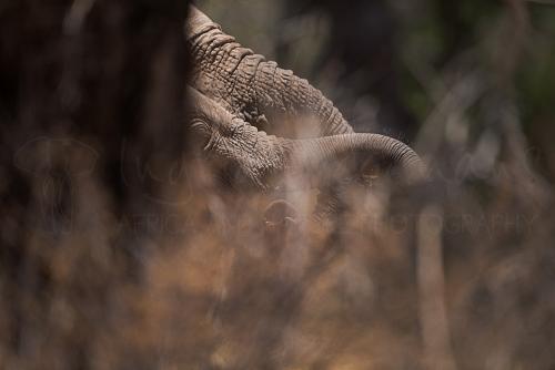Close-up of elephants in thick bush in Samburu