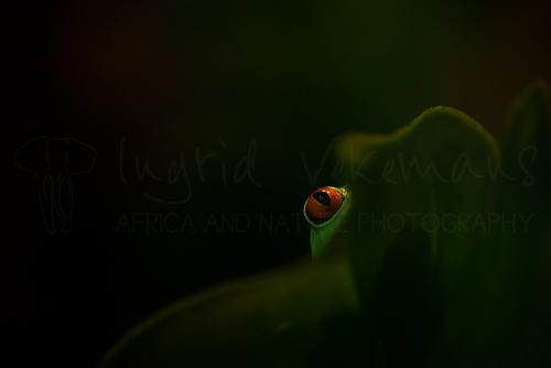 ​Red-eyed tree frog's eye behind leaf in captivity