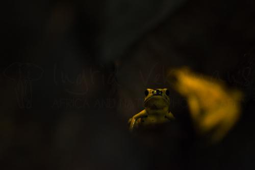 Yellow poison dart frogs in the dark