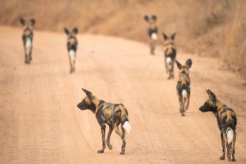 African wild dogs in Ruaha National Park during 'Southern Tanzania Explorer' photo safari