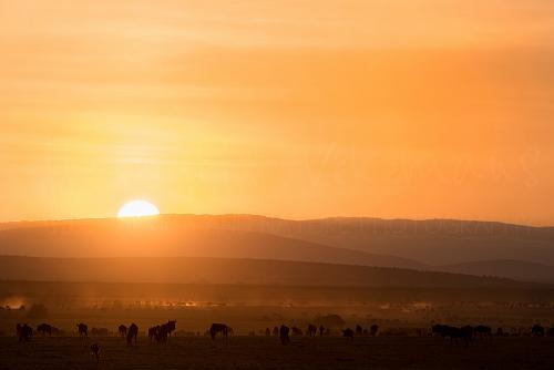 Wildebeest gathering on the Mara at sunrise