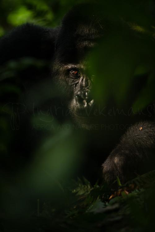 Close-up van silverback gorilla half bedekt door vegetatie met één oog in het zonlicht