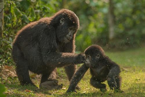 Tienergorilla speelt met baby gorilla in open ruimte in het oerwoud