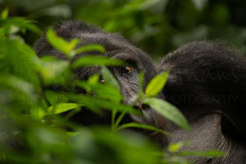 Gorilla kijkt met één oog door vegetatie in clsose-up in oerwoudomgeving