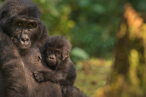Moeder gorilla houdt baby vast en beide kijken frontaal met vage achtergrond van oerwoud en boom op achtergrond