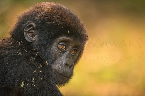 Close-up van baby gorilla die over schouder kijkt met oogcontact verlicht door zonlicht en warme oranje achtergrond