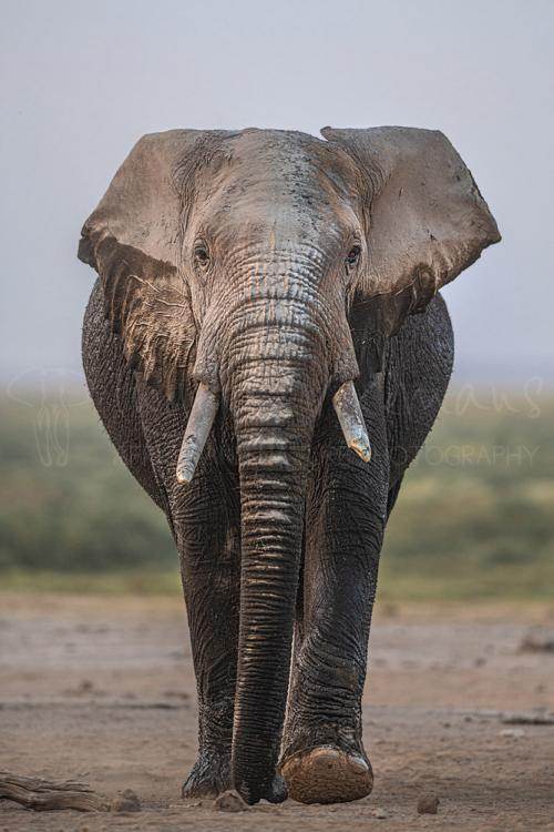 Elephant close-up in Amboseli during photography tour in Kenya with Ingrid Vekemans