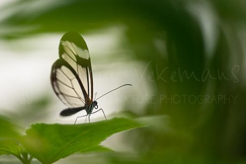 Greta oto or Glasswing in butterfly house