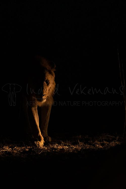 Lion walking in the dark at night illuminated from the side in South Luangwa in Zambia