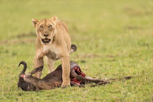 Leeuwin versleept prooi in de Masai Mara tijdens Migratie en Meren van de Grote Rift fotosafari
