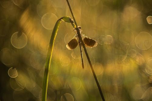 Weidebeekjuffer bij zonsopgang met vleugels gespreid