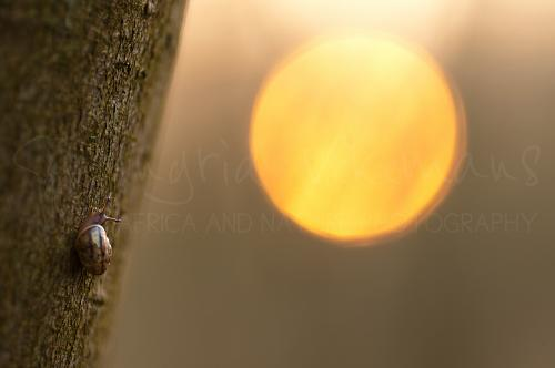 Baby snail in macro close-up on tree with sunrise