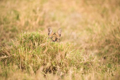 Serval spiedend doorheen gras in Meru National Park