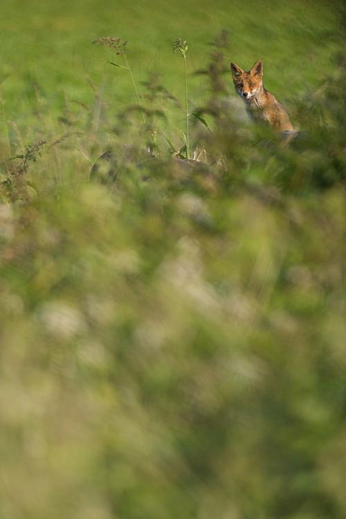 Jonge vos vanop uitkijkpunt over burcht