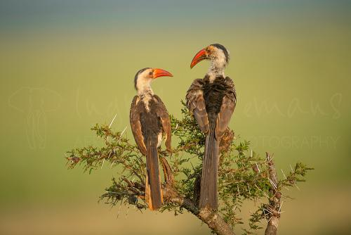Red-billed hornbill couple during best photographic tours in Africa with www.ingridvekemans.com