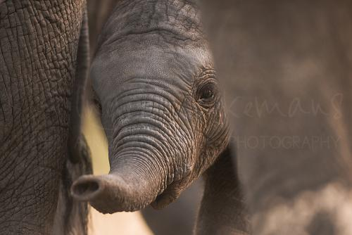 Baby-olifant in close-up tussen moeders poten in Tarangire.