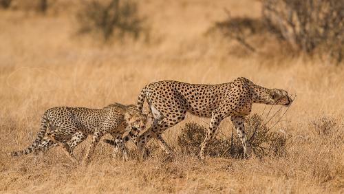 Jachtluipaard op jacht met jongen in Samburu tijdens fotosafari Ongerept Afrika