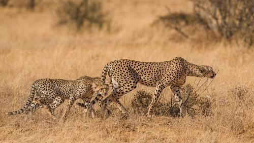 Cheetah hunting with cubs in Samburu during photo safari Untouched Africa