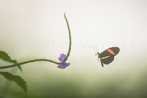 Heliconius melpomene amaryllis in de vlucht