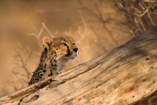 Cheetah close-up in evening light in Samburu