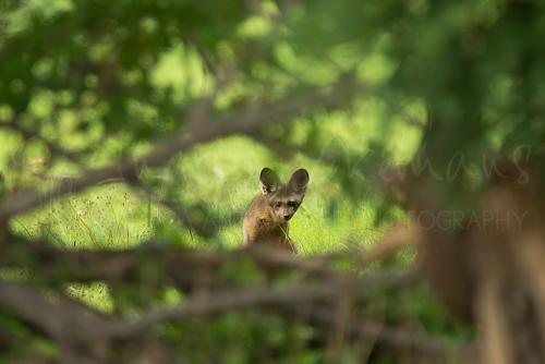 Bat-eared fox looking at photographer through bush in Ruaha