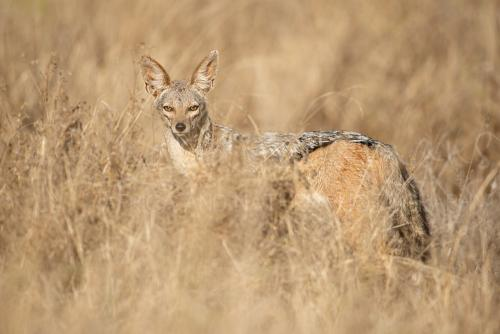 Black-backed jackal in Tsavo West during Maneaters and Red Elephants photo safari
