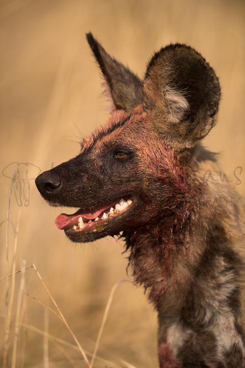 Close up van bebloede kop van Afrikaanse wilde hond in South Luangwa in Zambia