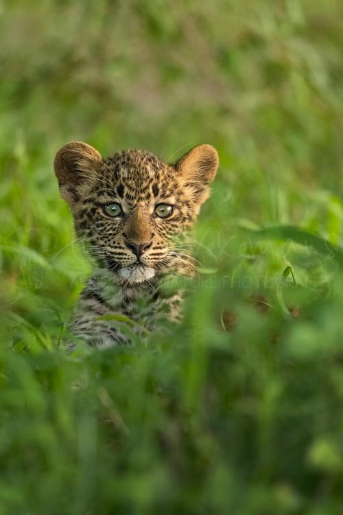 Leopard cub alone in Masai Mara grass