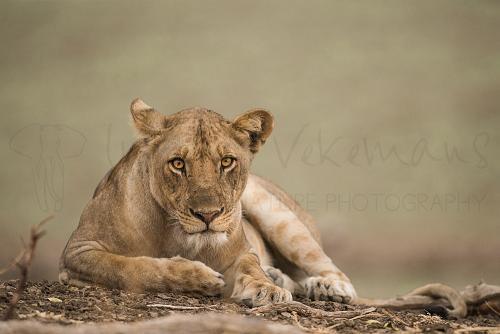Leeuwin met oogcontact met zachte groene achtergrond in South Luangwa in Zambia