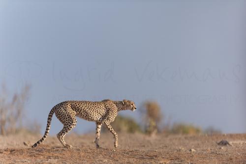 Jachtluipaard in Tsavo East tijdens Over Maneaters en Rode Olifanten fotosafari