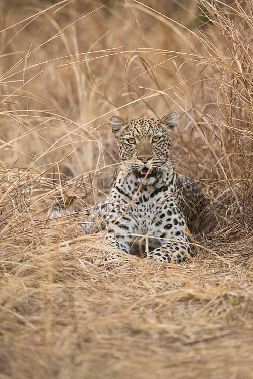 Luipaard liggen in gras met oogcontact in South Luangwa in Zambia