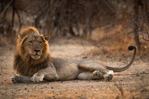 Leeuw bij zonsondergang in South Luangwa tijdens 'Land van Leeuw en Luipaard' fotosafari
