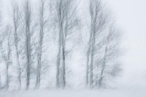 Trees in the snow in the High Fens